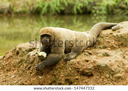 MALE WOOLLY MONKEY IN THE WILD