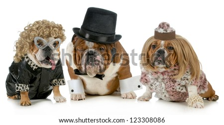 males bulldog with two females all dressed in formal clothing isolated on white background - stock photo
