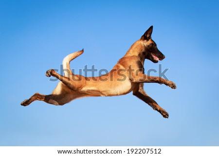 """belgian_dog"" Stock Photos, Royalty-Free Images & Vectors ..."
