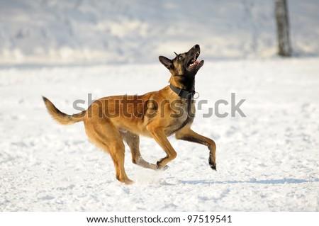 malinois dog runs - stock photo