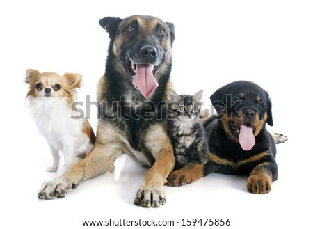 malinois, rottweiler kitten and chihuahua on a white background