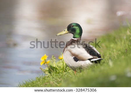 Mallard (Anas platyrhynchos) male standing in Meadow at the waterfront