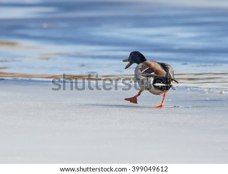 Mallard (Anas platyrhynchos) walking on the ice of a frozen lake in the spring.