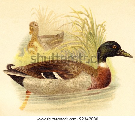 Mallard Duck (Anas boschas) / vintage illustration from Meyers Konversations-Lexikon 1897 - stock photo