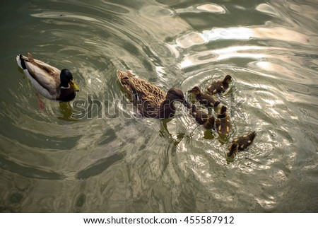 mallard duck and baby ducklings
