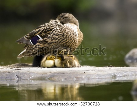 mallard  duck - Female with ducklings - stock photo