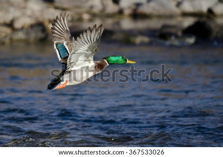 Mallard Duck Flying Low Over the River - stock photo