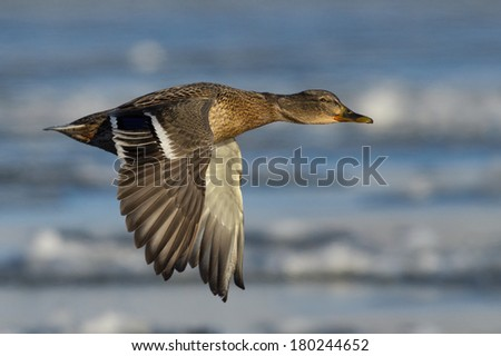 Mallard Duck in flight over winter landscape. - stock photo