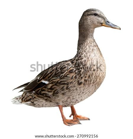 Mallard Duck isolated on white - stock photo