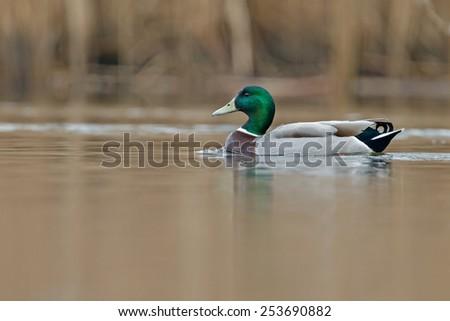 Mallard Duck male - stock photo