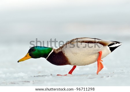 mallard duck on frozen lake - stock photo