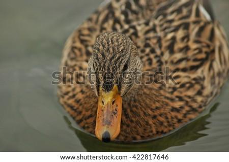 Mallard Duck. Wild bird floating on the lake. Portrait of the animal. - stock photo