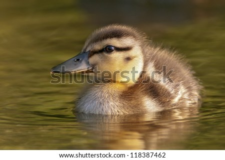 Mallard Duckling - stock photo