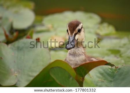 mallard duckling amongst water lilies  - stock photo