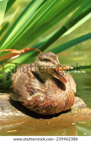 Mallard duckling quacking - stock photo