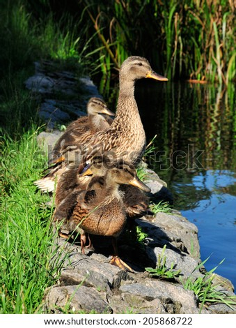 Mallard ducklings. Mallard (Latin Anas platyrhynchos) - bird of the duck family (Anatidae) detachment of waterfowl (Anseriformes). The most well-known and widespread wild duck. - stock photo