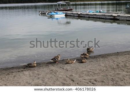Mallard ducks by the wharf scenic - stock photo