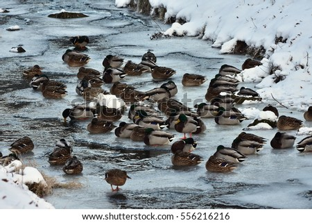mallard ducks,-last non frozen water surface