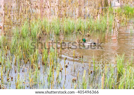Mallard ducks pair swimming on small pond with plants. Nature Background - stock photo