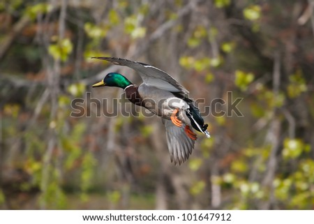 Mallard in flight with trees in the background. - stock photo