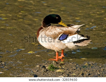 Mallard Reaches to Preen Back Feathers