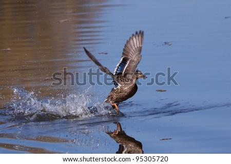 Mallard running on water - stock photo