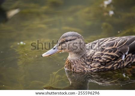Mallard spotted outdoors in Dublin, Ireland - stock photo