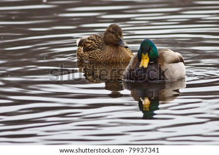 Mallards - stock photo