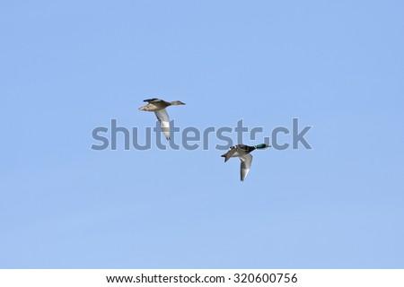 Mallards, wild duck in bird migration. Anas platyrhynchos, in seasonal movement between breeding and wintering grounds.  - stock photo