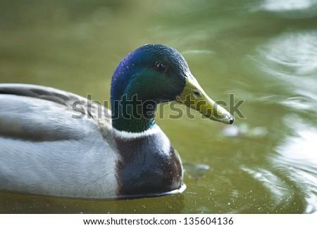 Malllard close up - stock photo
