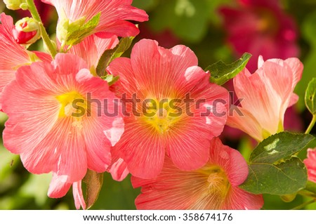 mallow. a herbaceous plant with hairy stems, pink or purple flowers, and disk-shaped fruit. Several kinds are grown as ornamentals, and some are edible. - stock photo