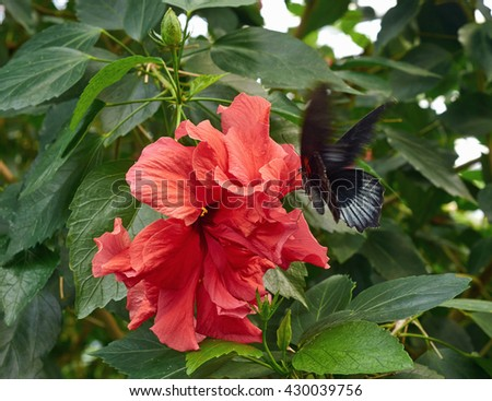 Mallow flower macro with butterfly (Pachliopta kotzebuea) moving. - stock photo