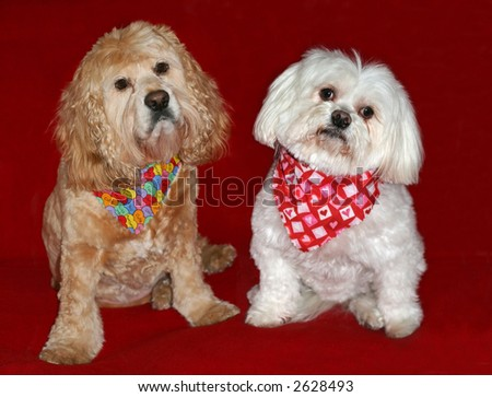maltese and cocker spaniel dogs with scarves