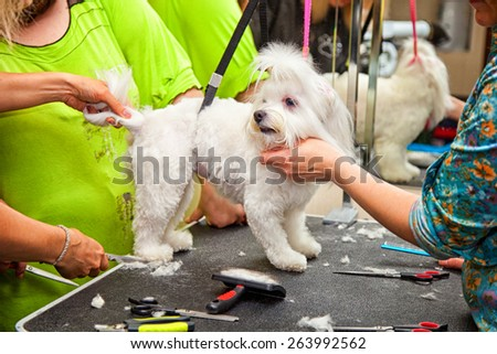 Maltese dog haircut - stock photo