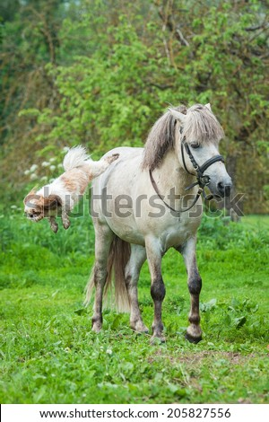Maltese dog jumps from the back of grey pony - stock photo