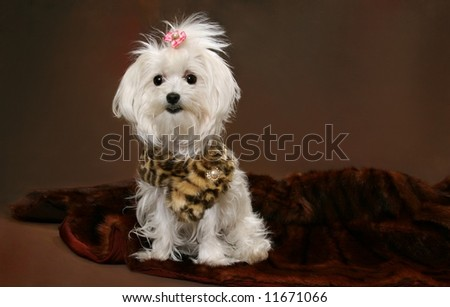 Maltese Dog on brown background with copy space