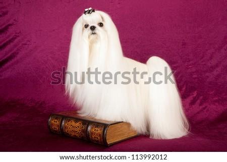 Maltese dog on plum burgundy background with book - stock photo