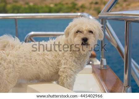 Maltese dog on the deck of a sailing boat