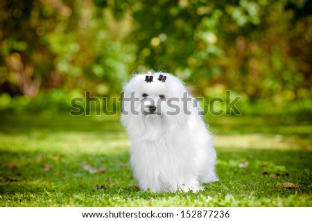maltese dog outdoors portrait - stock photo
