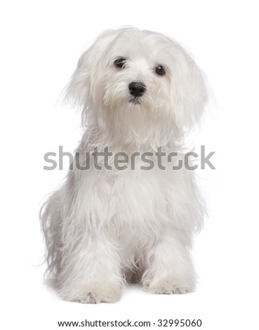 maltese dog puppy (7 months old) in front of A white background - stock photo