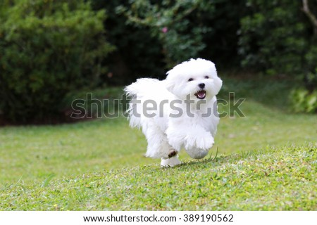 Maltese Dog Running / A white maltese dog running on green grass and plants background - stock photo