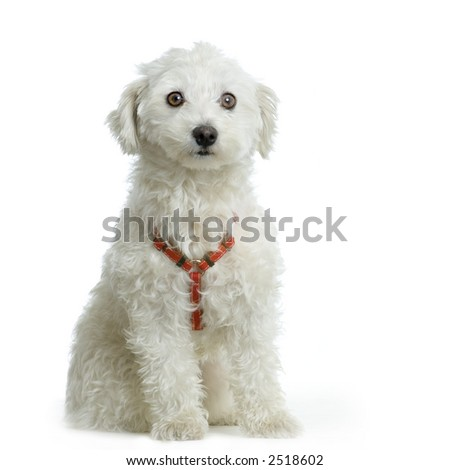maltese dog sitting in front of white background - stock photo