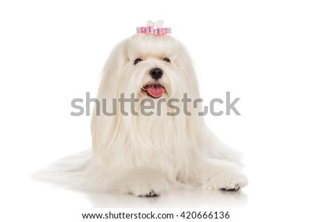 Maltese dog with bow, isolated on white