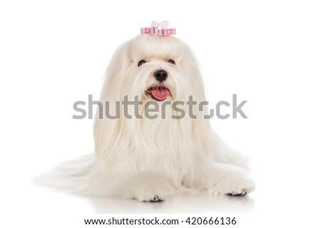 Maltese dog with bow, isolated on white - stock photo