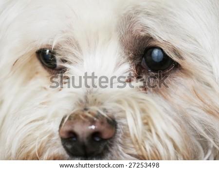 maltese dog with cataracts - stock photo