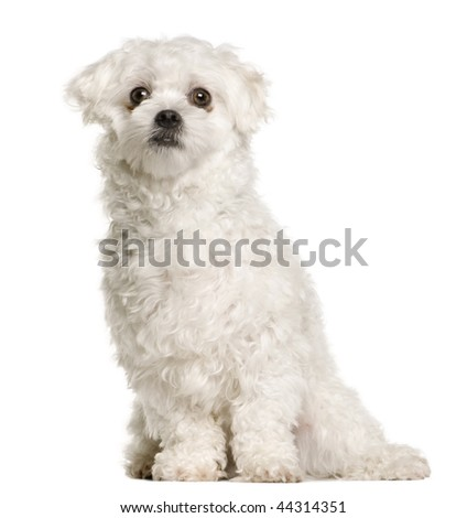 Maltese dog, 1 year old, sitting in front of white background, studio shot