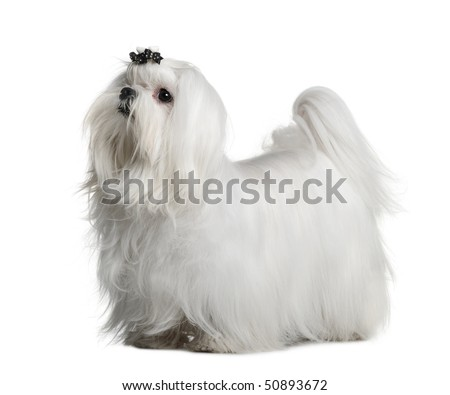 Maltese dog, 1 year old, standing in front of white background - stock photo