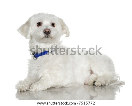 maltese dog (5 years) in front of A white background - stock photo