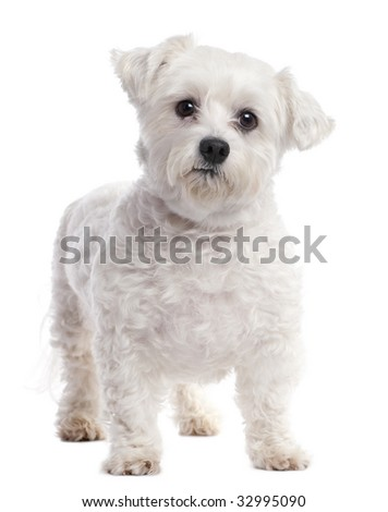 maltese dog (7 years old) in front of A white background