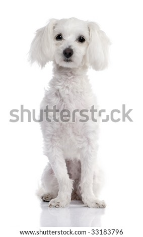 maltese dog (2 years old) in front of A white background
